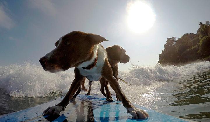 Chris-alboitiz-el-australiano-que-surfea-con-sus-perros-backseries-5